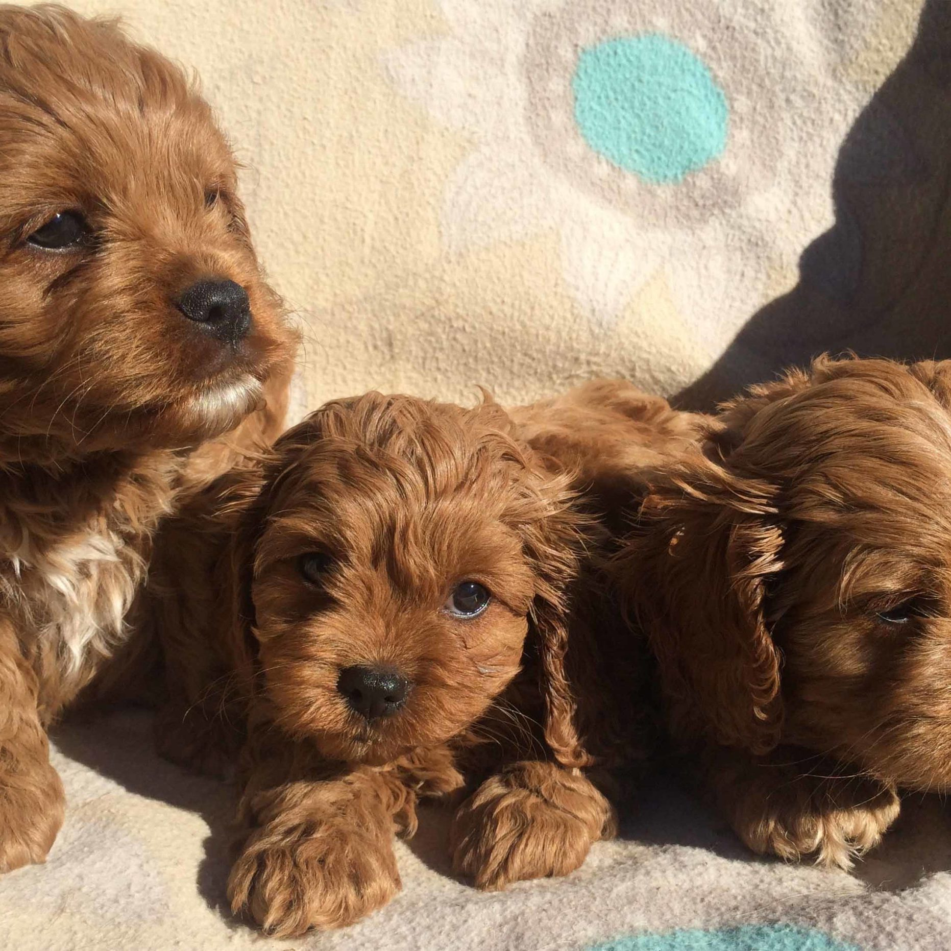 Cavoodle_home_page